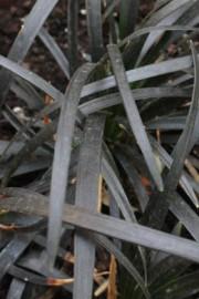 Schwarzer Schlangenbart (Ophiopogon planiscapus)