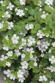 Schneeflockenblume (Bacopa) Sutera cordata