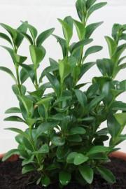 Buchsbaum (Buxus sempervirens)
