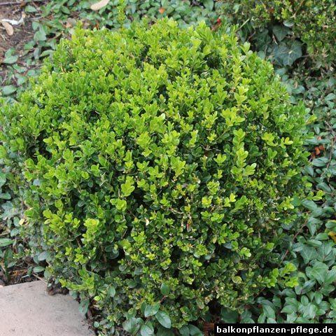 buchsbaum buxus sempervirens balkonpflanzen pflege. Black Bedroom Furniture Sets. Home Design Ideas