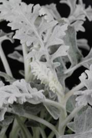 Silberblatt (Jacobaea maritima)