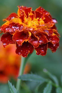 Studentenblume (Tagetes patula)