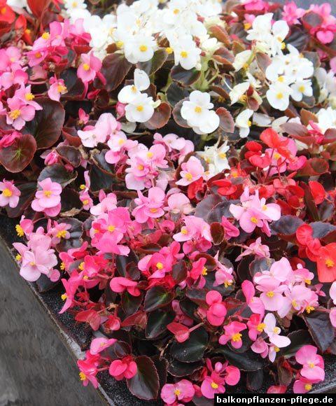 eisbegonie semperflorens begonien balkonpflanzen pflege. Black Bedroom Furniture Sets. Home Design Ideas