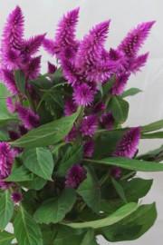 Celosia argentea (Hahnenkamm, Celosie)