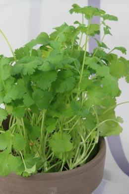 Koriander coriandrum sativum balkonpflanzen pflege for Koriander pflanzen