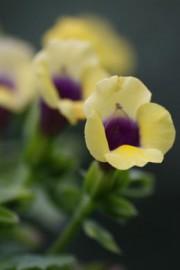 Torenia fournieri (Schnappmäulchen)
