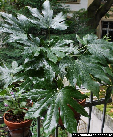 zimmeraralie fatsia japonica balkonpflanzen pflege. Black Bedroom Furniture Sets. Home Design Ideas