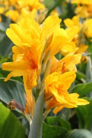 Canna indica (Indisches Blumenrohr)