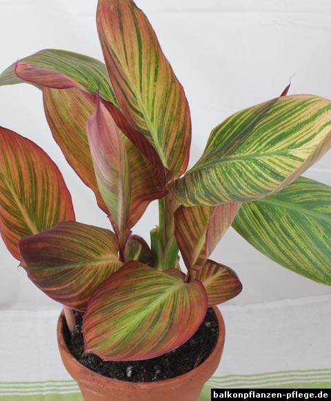 oleander im wohnzimmer Überwintern – abomaheber, Wohnzimmer