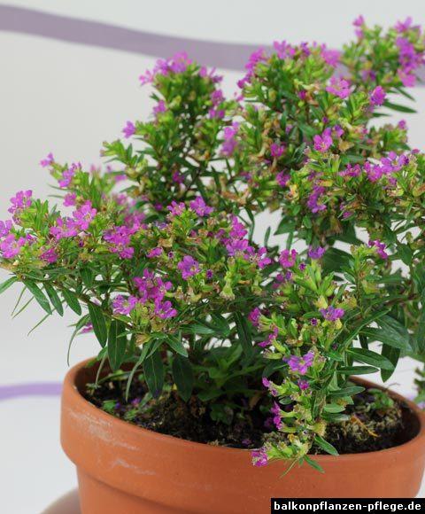 Japanische Scheinmyrthe (Cuphea hyssopifolia ...