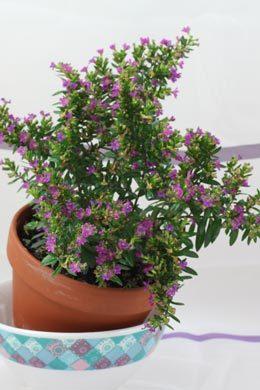 Cuphea hyssopifolia (Scheinmyrthe)
