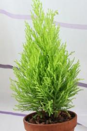 Cupressus macrocarpa (Zimmerzypresse)