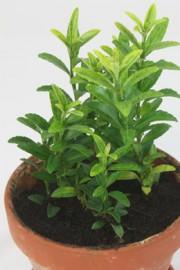 Euonymus japonicus (Spindelstrauch)