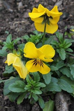 Viola wittrockiana (Garten-Stiefmuetterchen)