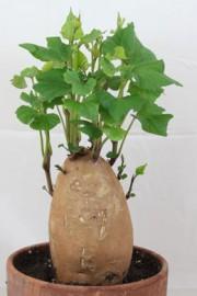 Ipomoea batatas (Süßkartoffel)