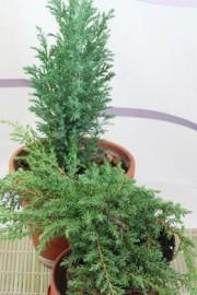 Juniperus communis (Wacholder)