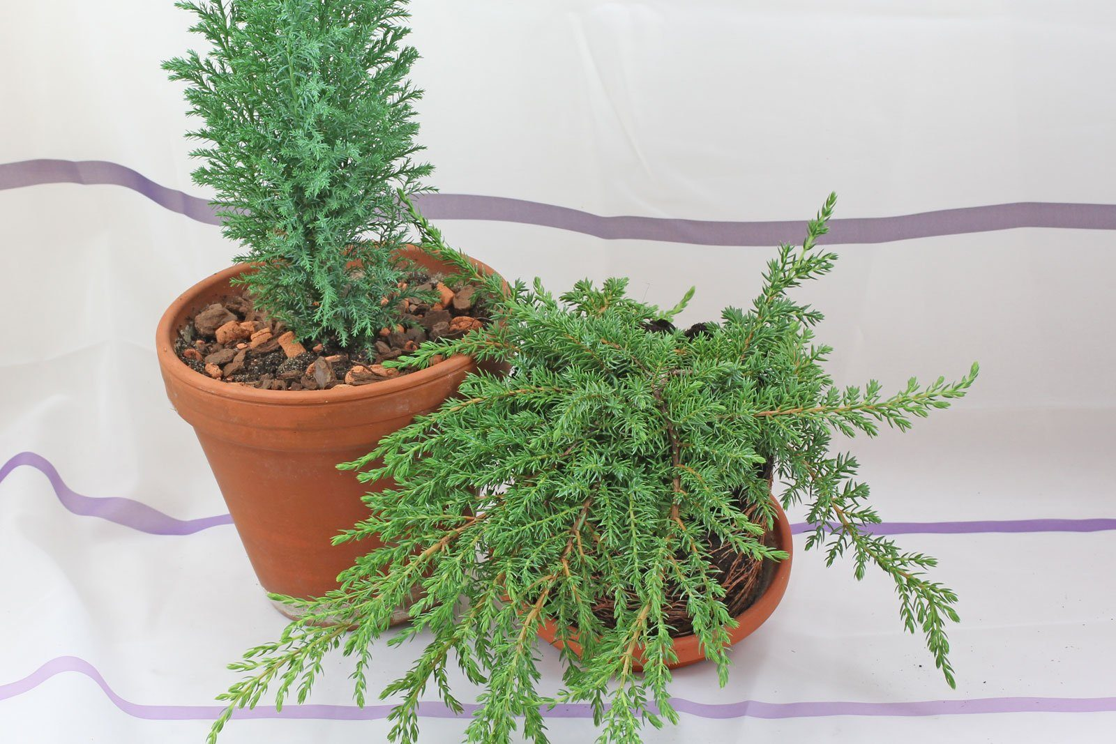 Top Wacholder (Juniperus communis) #XB_41
