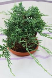 (Juniperus horizontalis) Kriech-Wacholder