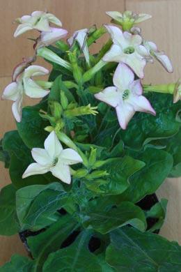 Nicotiana × sanderae (Ziertabak)