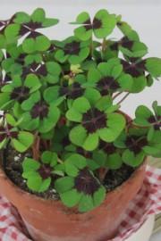 Oxalis tetraphylla (Glücksklee)