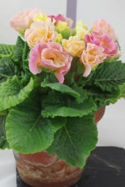 Priumula vulgaris (Primel)