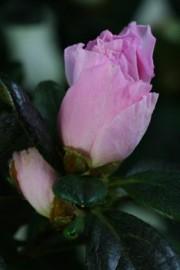 Rhododendron simsii (Azalee)