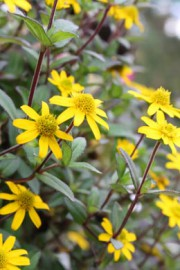 Sanvitalia procumbens (Husarenknopf)