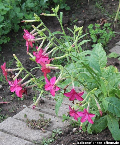 Tabak im Garten