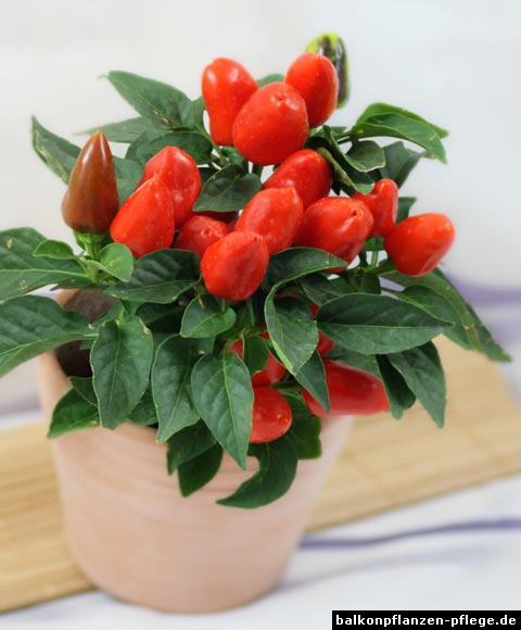 paprika capsicum annuum balkonpflanzen pflege. Black Bedroom Furniture Sets. Home Design Ideas