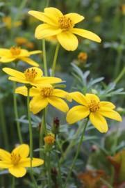 Bidens ferulifolia (Zweizahn, Goldmarie)