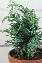 Chamaecyparis lawsoniana (Schein-/Gartenzypresse)