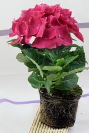 Hydrangea macrophylla (Hortensie)