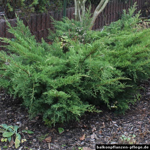 kriechwacholder juniperus horizontalis balkonpflanzen pflege. Black Bedroom Furniture Sets. Home Design Ideas