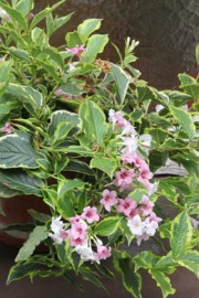 Weigela florida (Weigelie)