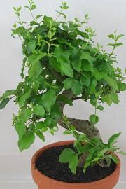 Ligustrum sinense (Chinesischer Liguster)
