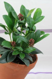 Skimmia japonica (Skimmie)
