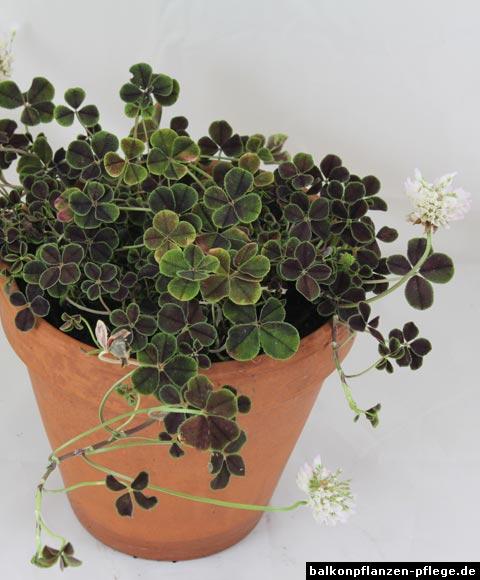 """Trifolium repens """"Quadrifolium Purpureum"""""""