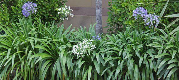 schnittlauch allium schoenoprasum balkonpflanzen pflege. Black Bedroom Furniture Sets. Home Design Ideas