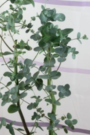 Eucalyptus gunnii (Eukalyptus)