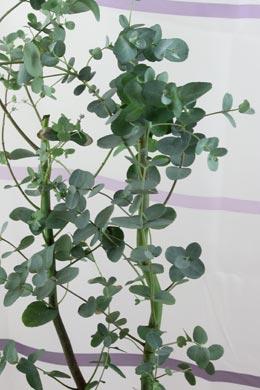 eukalyptus eucalyptus gunnii balkonpflanzen pflege. Black Bedroom Furniture Sets. Home Design Ideas