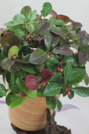 Gaultheria procumbens (Scheinbeere)