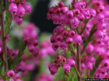 Glockenheide Blüten