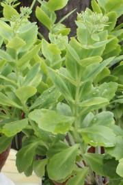 Hylotelephium spectabile (Fetthenne)