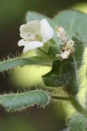 Hyoscyamus albus (Weißes Bilsenkraut)