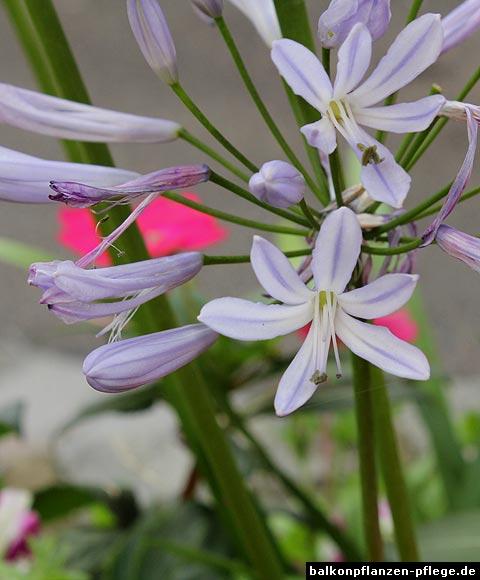 schmucklilien agapanthus hybriden balkonpflanzen pflege. Black Bedroom Furniture Sets. Home Design Ideas