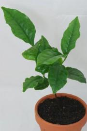 Camellia sinensis (Teepflanze)