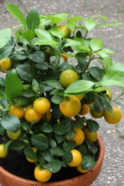 × Citrofortunella microcarpa (Calamondin)