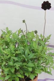 Cosmos atrosanguineus (Schokoladenblume)