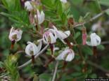 Cranberry Blüten