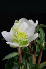 Helleborus niger (Christrose)